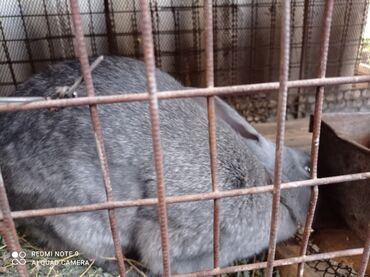 101 объявлений   ЖИВОТНЫЕ: Продаю кроликов самка 7.5 месяцев без породы