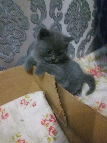 шредеры 17 в Кыргызстан: Продаю котёнка  осталась одна девочка  скоттиш страйт  17.12.20 с родо