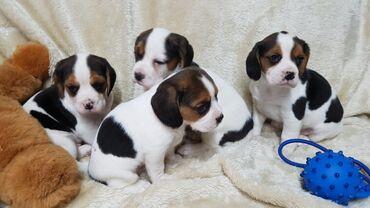 Όμορφα κουτάβια BeaglierΔιαθέτουμε ένα φανταστικό κουτάβι Beagle cross