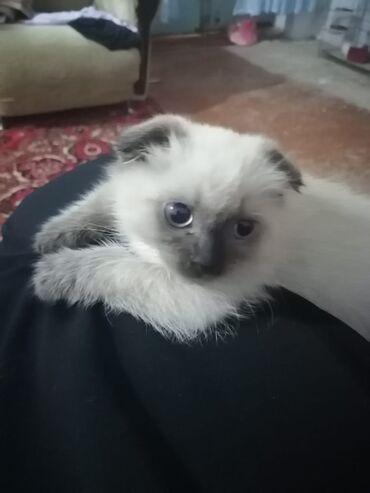 вислоухий шотландец котенок в Азербайджан: Виселаухий шотланский котенок мальчик 2 месяца