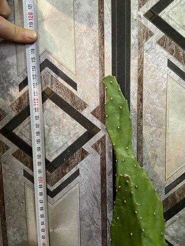 Dekorotiv Kaktus bitkisi.Hündürlüyü 1 metrdən hündürdü