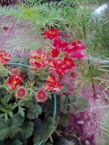 Садовый цветок в Лебединовка