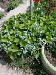 большой выбор многолеток и однолеток для сада,недорого в Кок-Ой
