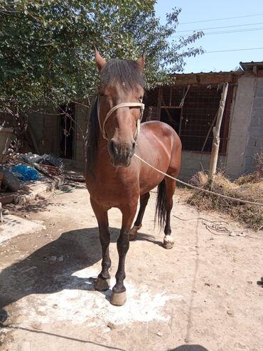 32 объявлений | ЖИВОТНЫЕ: Лошади, кони