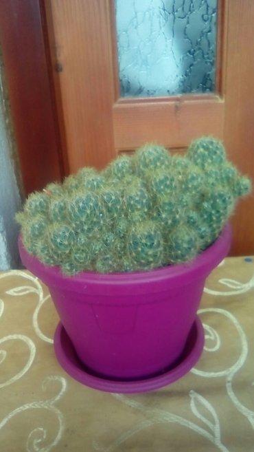 Kaktus sa lepim cvetom ima i manji za 700dinara - Ivanjica
