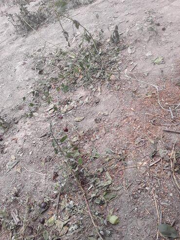 hektar - Azərbaycan: Satış 275 sot Kənd təsərrüfatı mülkiyyətçidən