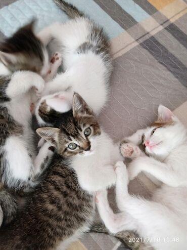 Животные - Таш-Мойнок: Отдам в хорошие руки. К лотку приучены, кушают самостоятельно