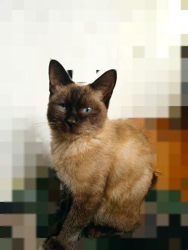 44 объявлений | ЖИВОТНЫЕ: Продаётся сиамский кот  2 годика
