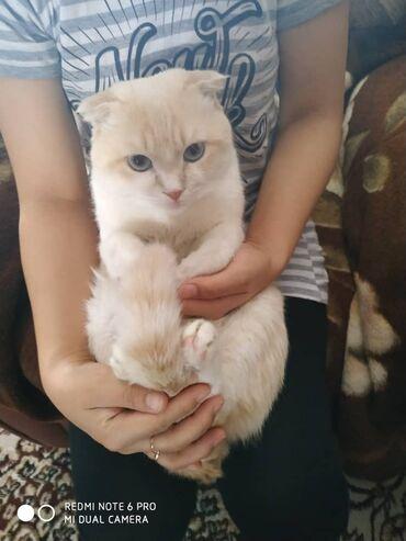 Коты - Кыргызстан: Продаю Кота Зовут Фил Послушный Умный Очень Ласковый Или Для Вязки с