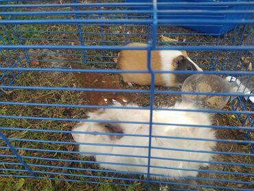 Животные - Милянфан: Продаю двух морских свинок. Оба мальчики. Вместе с клеткой