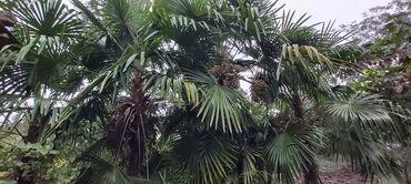 mangal satilir in Azərbaycan   DIGƏR TIKINTI XIDMƏTLƏRI: Palma ağacı satılır