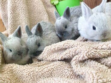 Декоративные кролики - Кыргызстан: Продаются!!!Элитные декоративные кролики (миноры)Кролики полностью