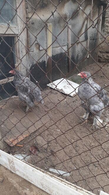 Животные - Масазыр: Птицы