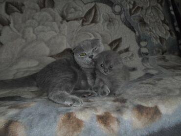 хайленд страйт в Кыргызстан: Продаю шотландских котят Чистокровные!!!С родословной!!!Скоттиш фолд