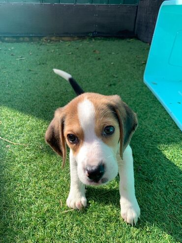 Beagle puppies available for rehoming