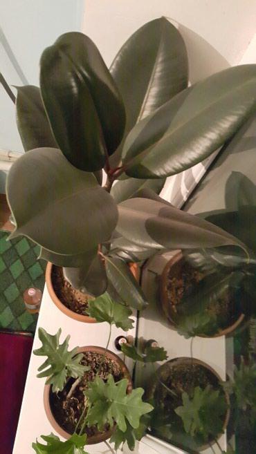 Комнатные растение, цветы.... в Ош