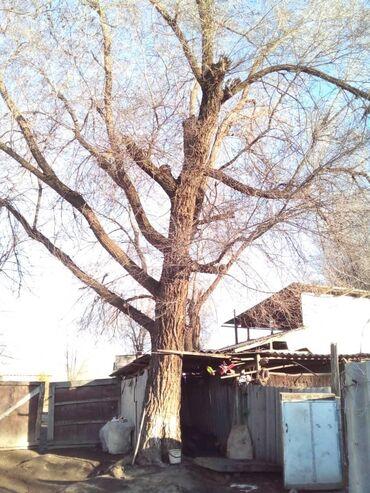 Продаю дерево карагач