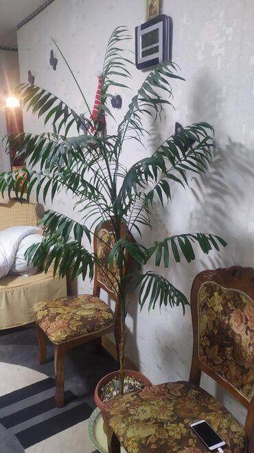 Продам дерево, Пальма Хамедория, высота 1.70м, нужно только поменять