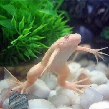 Шпорцевая лягушка в аквариум