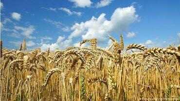 """934 объявлений: Продаю семена пшеницы сорт """"безостая 100"""""""