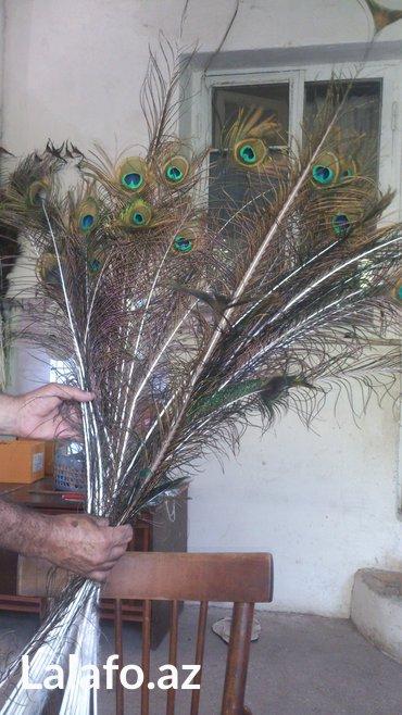 Bakı şəhərində Перя 4-х годичного павлина.