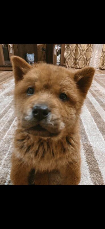 Продаётся чау чау щенок -мальчик! (Смуф ) В хорошие руки -для любви !