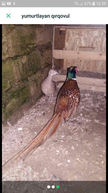 Bakı şəhərində Qirqovul satıram 25 manat