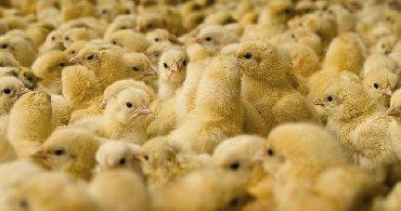 alfa romeo 75 16 mt в Кыргызстан: Яйцо инкубационное,росс 308, арбор Акрос,процент вывода 75-80%гарант