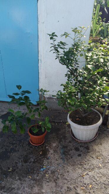 Комнатные растения - Беловодское: Лимоны 2 дерева цена 600 и 4500