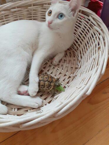 вислоухий шотландец котенок в Азербайджан: Продается котенок Ангоры мальчик,3 месяца,к лотку приучен, игривый