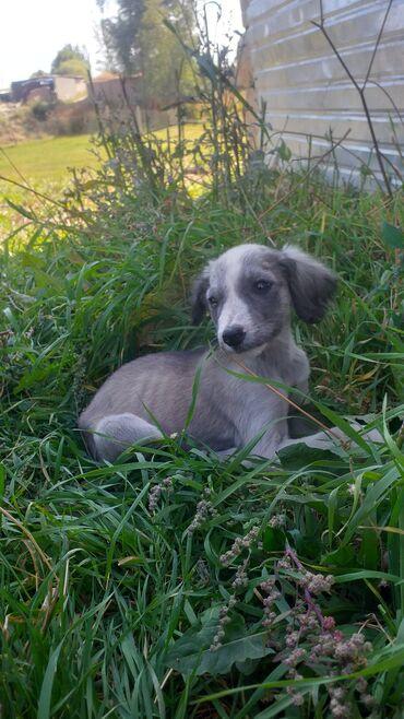 35 объявлений   ЖИВОТНЫЕ: Собаки