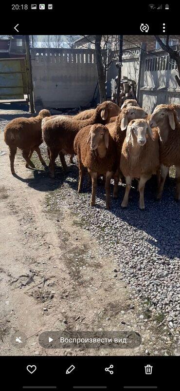 индюк цена за кг в Кыргызстан: Продаю | Овца (самка), Ягненок | Гиссарская, Арашан | Для разведения | Ярка