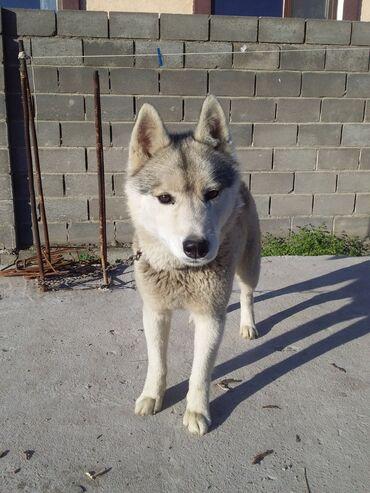 Срочна продаю хаски очен послушный собака,пахож волк.3500сом