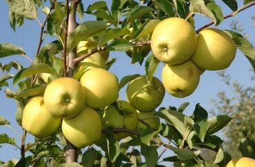 Семена и уличные растения - Сокулук: Яблоки прямо из сада. Самовывоз. Если много, можем уступить в цене