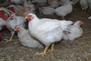 оцинкованный лист цена бишкек в Кыргызстан: Продаю живых бройлерных кур, цена за кг