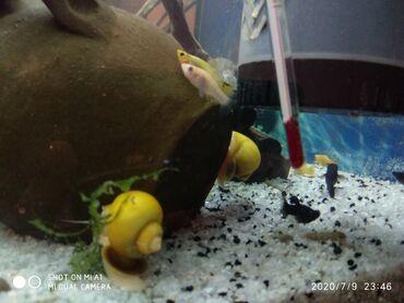 Akvarium ucun ampulyariya (ilbiz) satilir.10 ededdir. 10-20 qepik