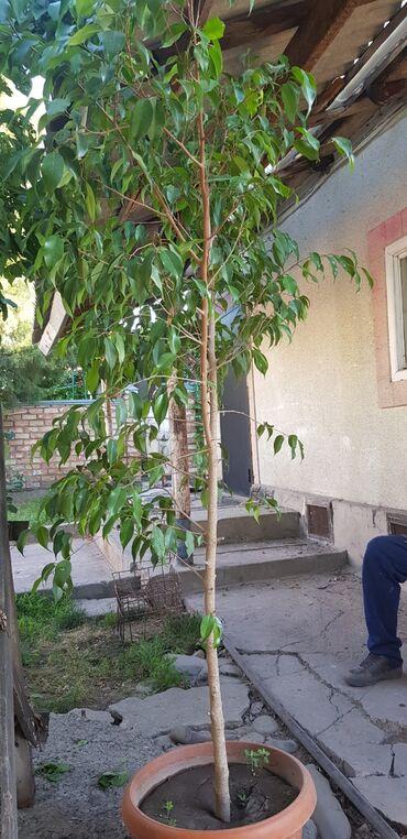 Продаю декоративное( офисное) дерево 2 метра высотой