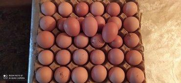 - Azərbaycan: Loman braun yumurtasi tam mayali temiz cins qiymetide cox azligina