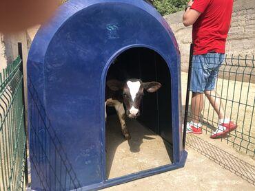 ветеринар на дом бишкек в Кыргызстан: Домики для телят. Ферма, корова, стельная, молоко, ветеринар, телята