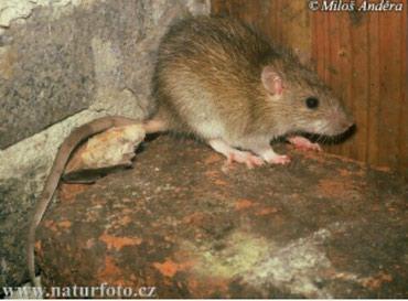 Куплю дикую или дикоративную рыжую крысу в Бишкек