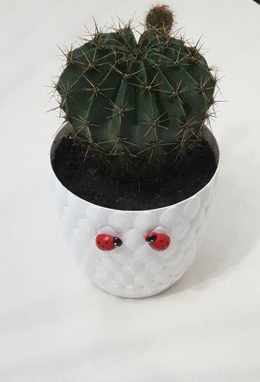 boyuk itler - Azərbaycan: Kaktus boyuk olchulu - 8 Azn