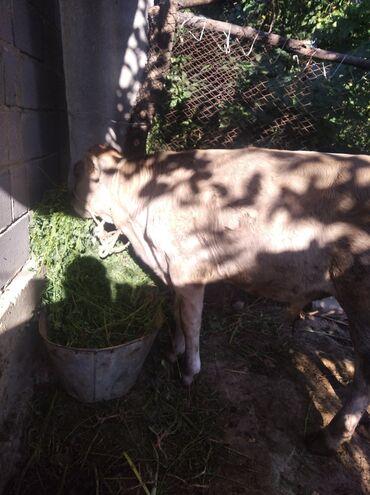 Животные - Каинды: 4 айлык эркек торпок картан уйдуку панфиловкада максат