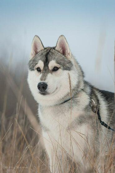 сибирский ель в Кыргызстан: Продается щенок сибирской хаски сучка 8 мес или обмен на питбуля