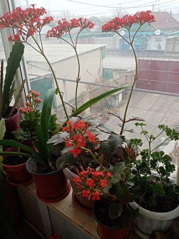 Комнатные растения - Кыргызстан: Каланхоэ цветущее