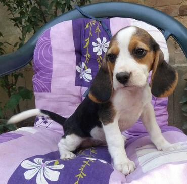 Pas - Srbija: BIGL (Snupi) je Engleski plemićki pas. Inteligentan, temperamentan, um