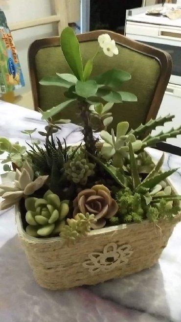 Kućne biljke | Srbija: Trajni aranzmani od sukulenata i kaktusa, idealni za uredjenje Vaseg