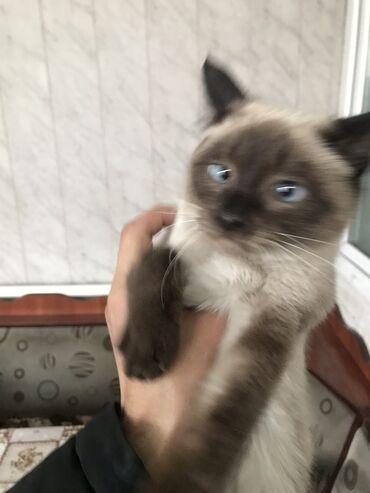 компьютерные мыши top trends в Кыргызстан: Сиамская кошка(котёнок) Девочка