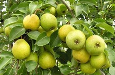 Продажа яблонь саженцы 2годичные полукарлики 250сом в Бишкек