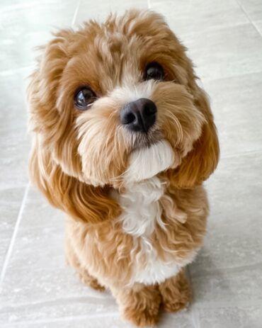 Животные - Кедабек: Cavapoo Puppy satışa təqdim olunur və yeni və sevimli ev üçün hazırdır