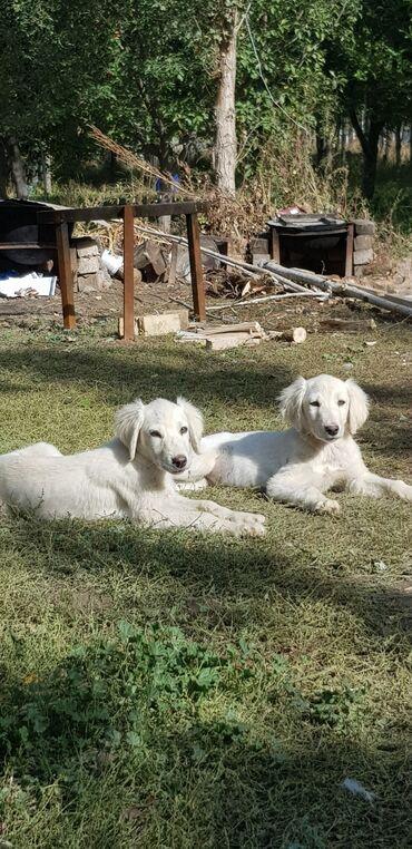 квартира керек кызыл кыя in Кыргызстан | ТИГҮҮЧҮЛӨР: Продаю щеньки порода тайган чистокровные (писать только вотсап)!!!